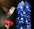 Immature Male Rufous Hummingbird at Delphinium