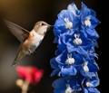 Immature Male Rufous Hummingbird at Delphinium