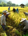 Harvesting in Chiang Mai (Thailand)
