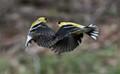 Goldfinch War