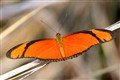 Flambeau butterfly