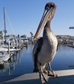 Pelican enjoying the view