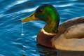BC Duck-001