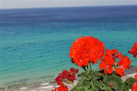 Pelargonium In Greece