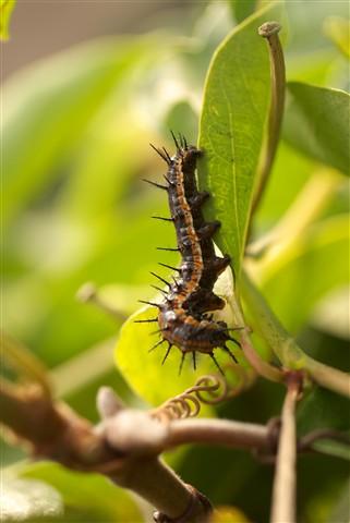 Gulf Frittilary Caterpillar
