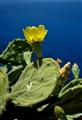 Mediterranean cactus