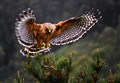 Red Shouldered Hawk 32