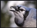 playful bluejay