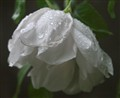 Rresh Rain Drops On A White Rose