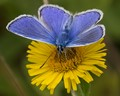 Common Blue Male Butterfly (Polyommatus icarus).