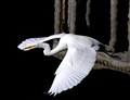 Egret Take Off 3