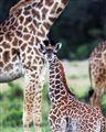 Curious beby giraffe