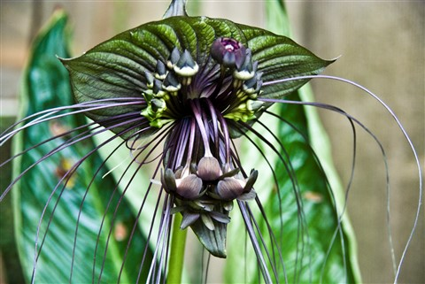Bat Flower, of the Tacca species