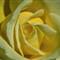 YellowRose_edited