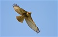 Red Tailed Hawk  (37)