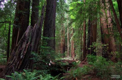 SF - Muir Woods Tree detail P2950r