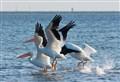 White Pelicans Landing