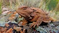 Horny Toad (Short-Horned Lizard)