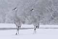 Snowfall with Cranes