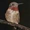 Soggy Humming Bird
