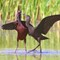 ibis mature and juv