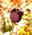 Brown Tulip