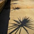Yucca Trees