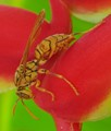 Wasp on a red flower