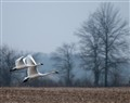 Hoosier Swans