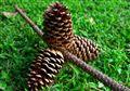 Lost Pine Cones