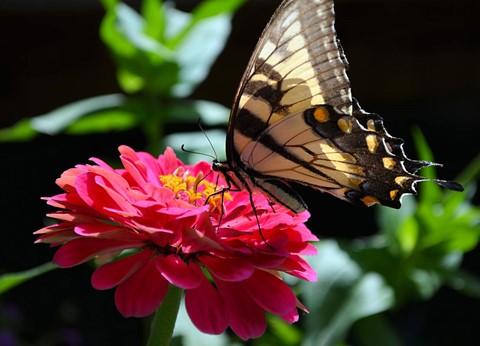 swallowtail - zinnia
