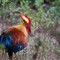 Wild rooster - jungle fowl