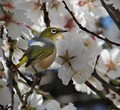 Grey-breasted white-eye in blossom