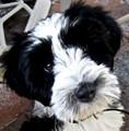 Our Tibetan Terrier Bella