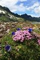 Swiss Mountain Wildflowers