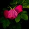Wild rose petals.