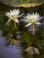 Lillies Reflected