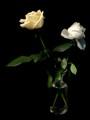 Roses_Y&W