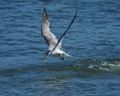 Crested Tern with catch
