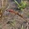 Dragon Flies Laying Eggs