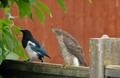 Sparrow hawk and Magpie in my garden, no it didn't attack it ...