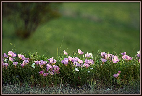 pink flowers by road