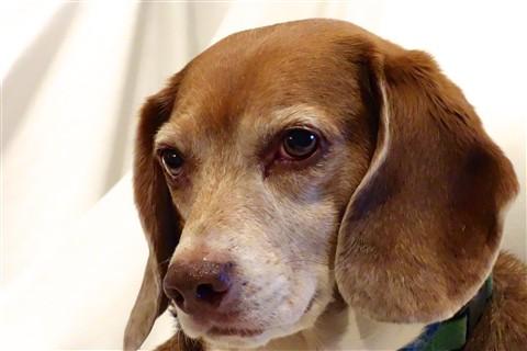 Bailey beagle up close