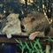 Zoo Lion Love