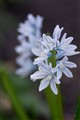 Siberian Squill Flowers