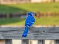 Blue jay on our fence