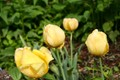 Dewey Yellow Tulips