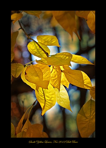 Sunlit Yellow Leaves