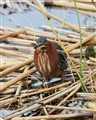 greenheron_01