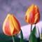 winter-tulips-no-02